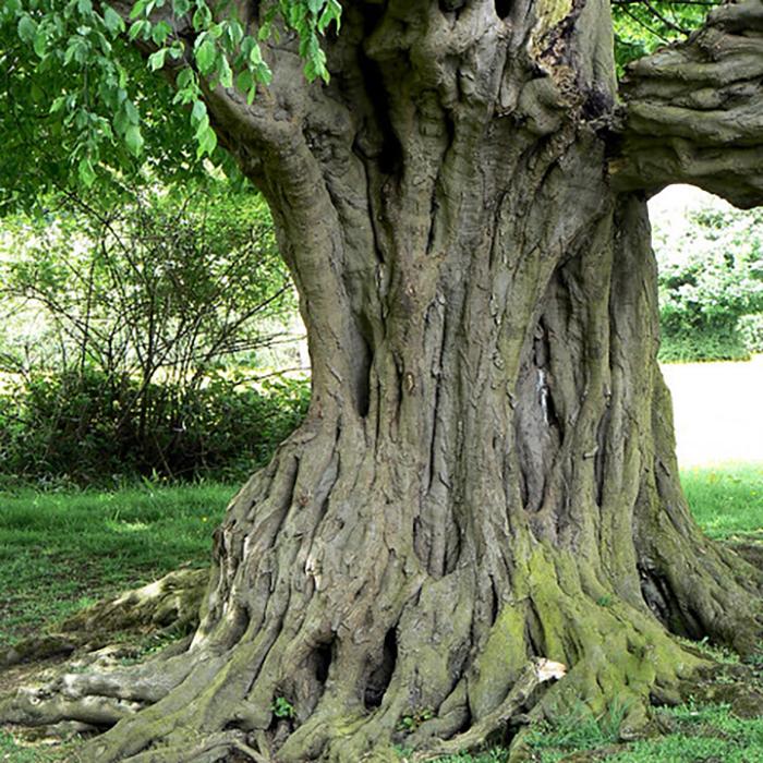 Ancient Tree Surveys